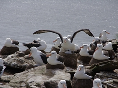An Albatross parent stretching its wings; Ship Harbor Bay