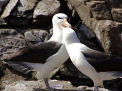 Albatross courtship is unique among seabirds. Males and females engage in coordinated dancing displays several times a day. This behavior allows potential mates to evaluate each others' suitability as long-term partners