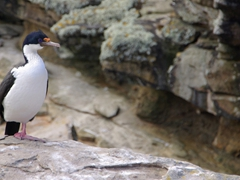 Blue eyed shag standing on one foot; Ship Harbor Bay