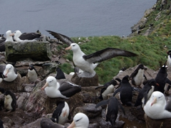 View of another Black browed Albatross colony; Devil's nose on West Point Island