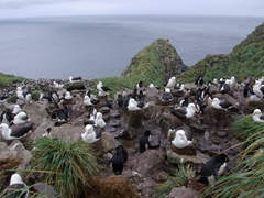 Devil's nose on West Point Island...black browed Albatross and Rockhoppers co-exist in a massive colony