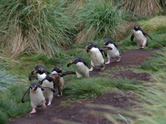 Doesn't this remind you of the Seven Dwarfs? Rockhopper penguins on a determined mission to reach the sea; West Point Island