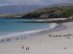 Magellanic penguins on Leopard Beach; Carcass Island