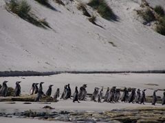 Magellanic penguins find safety in numbers as they head out to sea; Leopard Beach
