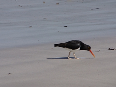 Oyster catcher beach-combing on Leopard Beach