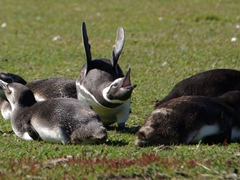 A Magellanic penguins starts its ecstatic display; Carcass Island