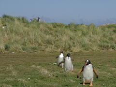 Gentoo penguins returning safely from Leopard Beach; Carcass Island