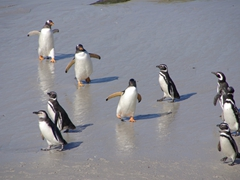 Gentoo penguins cut a path through a group of Magellanic penguins; Leopard Beach