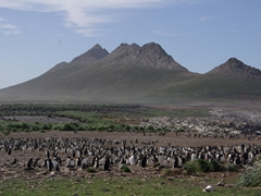 A large Gentoo penguin colony on pretty Steeple Jason Island