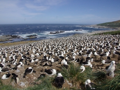 Only in our dreams...close to half a million Albatrosses spread out almost three miles on Steeple Jason Island