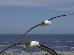 Albatrosses are majestic birds...here two of them soar high above the colony, looking for their respective mates amongst hundreds of thousands nests