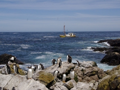 Gentoo penguins preening themselves with a small yellow sailboat in the background; Steeple Jason Island