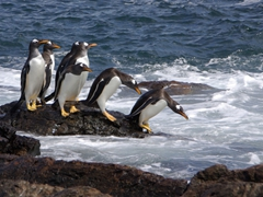 Gentoo penguins building up enough courage to venture into the sea; Steeple Jason Island