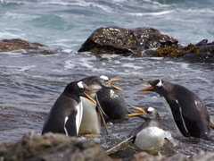 Gentoo penguins fussing at each other for their own space in the natural pool; Steeple Jason Island