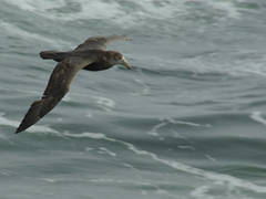 Petrel flying beside the Polar Star