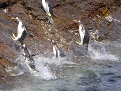 Gentoo penguins jumping to safety; Steeple Jason Island
