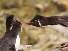 "Rockhopper penguins are aggressive, curious birds. They are ""crested"" penguins because of the yellow plumage on their heads"