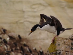 An Imperial blue-eyed shag gets ready to fly; New Island