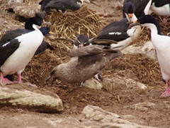 A brown skua gets attacked by angry shags and a rockhopper penguin. Skuas are scavengers that feed on scraps, chicks, eggs and carrion