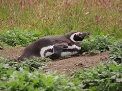 A magellanic penguin chilling beside its burrow; New Island