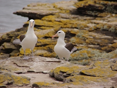 Two inquisitive black browed albatross check each other out; Ship Harbor Bay