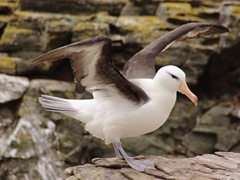 Portrait of a black browed albatross. These magnificent birds can live to be over 70 years old! Their biggest threat comes from long line and trawl fishing