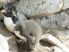 A hungry rockhopper chick pesters its parent for krill; Ship Harbor Bay