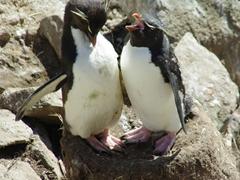 A rockhopper pair going through their ecstatic display; Ship Harbor Bay