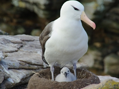 Portrait of an albatross and chick
