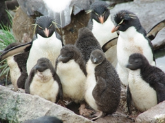Once the penguin chicks reach a certain size, their parents will abandon them. To survive, the chicks will form crèches (a group of many chicks together that provide safety in numbers)