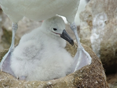 An albatross chick nestled between its parent's protective legs. We absolutely love albatross chicks...when they are hungry they will open and close their beaks noisily, indicating it is feeding time!