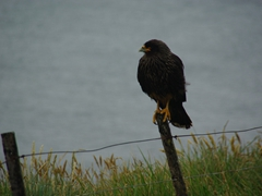 A Johnny Rooks (striated caracara) checks us out; West Point Island