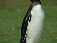 A curious gentoo penguin stops to get a closer look