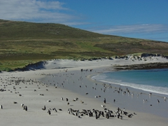 Gentoo and magellanic penguins, along with upland geese all share Leopard beach together in perfect harmony