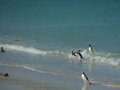 Gentoo penguins jumping out of the surf; Leopard Beach