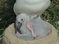 Albatross chicks are too cute to watch...here, this chick gets restless and keeps shifting to get comfortable; Steeple Jason Island