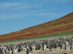Gentoo colony on Steeple Jason Island