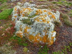 Lichen covered rock; Steeple Jason Island