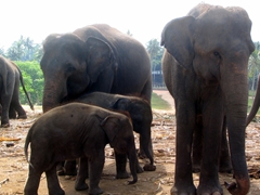 Close up of an elephant family at the Pinnawala Elephant Orphanage, where about 80 elephants are protected