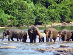 Bath time for everyone at Pinnawela elephant orphanage; Kegalle