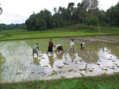 Planting rice near Anuradhapura