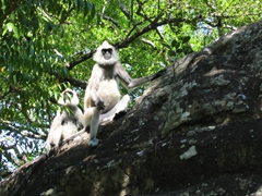Two gray langurs observe all the visitors to the ancient city of Sigiriya