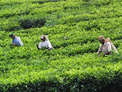 The tea industry targets poor workers, often paying them a measly pittance for a day's work (picking 16 KG of tea leaves in a day will net a male worker about 400 rupees or $3 USD and 250 rupees or $2 USD for a woman)