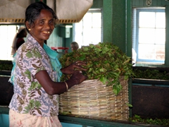 Portrait of a smiling worker getting ready to prepare tea leaves at a tea plantation in Nuwara Eliya