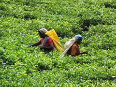 Two ladies working hard picking tea leaves in the Sri Lankan central highlands