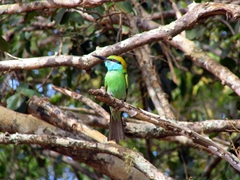 Green Beater, Yala National Park