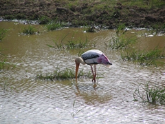Stork searching for food at Yala National Park