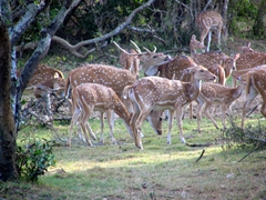 View of wild sambar; Yala National Park