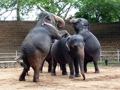 Several highly intelligent elephants put on an evening show at the Dehiwala Zoo