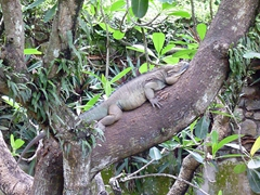 An iguana chilling in a tree; Dehiwalla Zoo